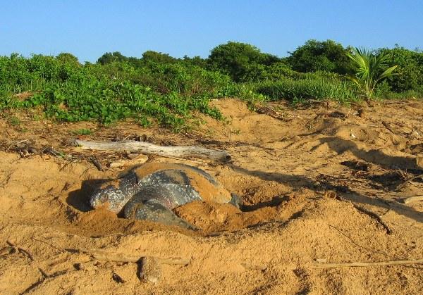 A leatherback sea turtle lays eggs. Photo credit: Tiffany Roufs.