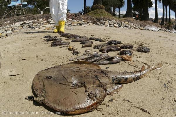 A dead ray, fish, and shellfish lie on Refugio State Beach on Wednesday, May 20, 2015. Photo credit: Jonathan Alcorn/Greenpeace.